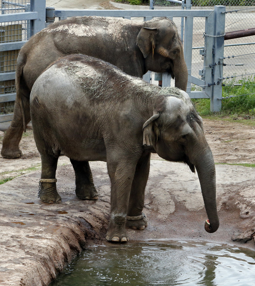 Photo - Asian Elephants Bamboo, front, and Chai check out their new surroundings at the Oklahoma City Zoo on Wednesday, May 13, 2015 in Oklahoma City, Okla.  Photo by Steve Sisney, The Oklahoman