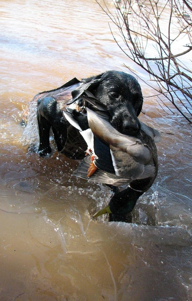 Photo - Will, a black Labrador owned by Hal McKnight of Oklahoma City, retrieves a duck from a pond. Photo by Hal McKnight