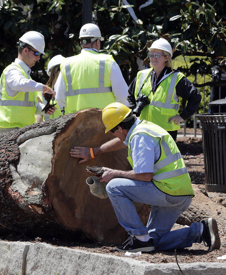 Photo - Auburn officials study the rings on the poisoned oak trees that were cut down at Toomer's Corner at the entrance to Auburn University in Auburn, Ala., Tuesday, April 23, 2013. Harvey Updyke Jr. is serving a jail term after pleading guilty to spiking the oaks with a powerful herbicide, and experts say they can't be saved. Workers used chainsaws and heavy equipment to remove what's left of the once-lush hardwoods at Toomer's Corner. Auburn fans traditionally roll the trees with toilet paper after a big victory, and tens of thousands rolled the trees after the spring football game last Saturday. (AP Photo/Dave Martin)