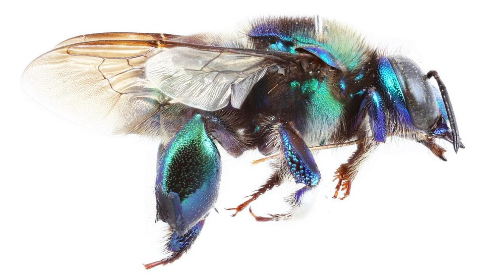 Photo -  John Barthell, provost of the University of Central Oklahoma, has had a new species of bee named for him. One of his colleagues discovered the bee and named it Eufriesea barthelli. The male bee is green. [Photo provided]