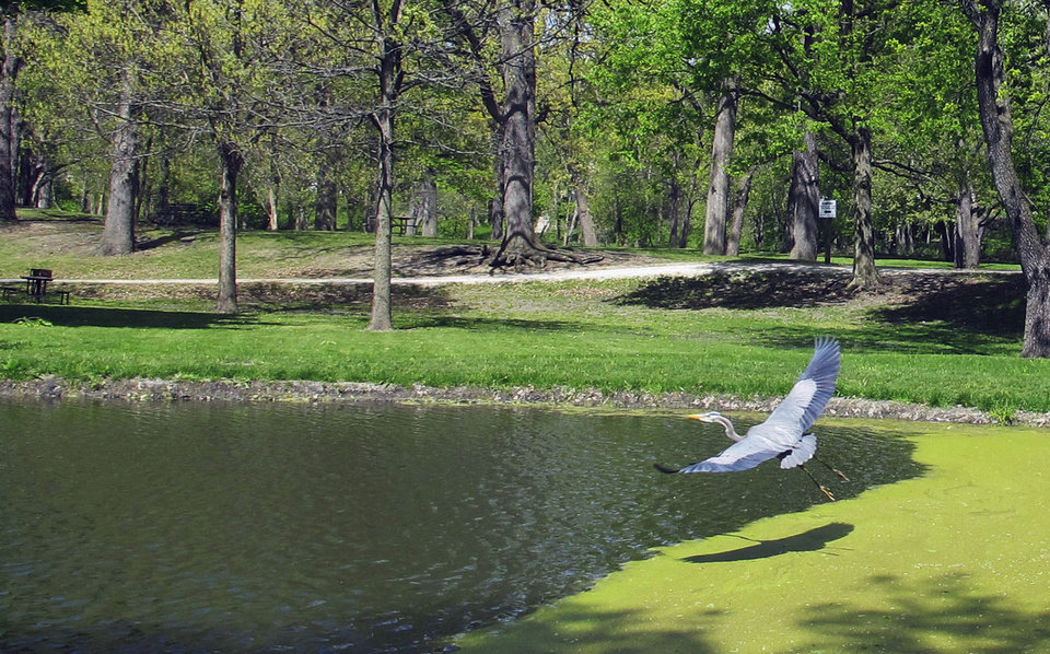 Photo - FILE - In this April 10, 2012 file photo, a great blue heron flies over a pond at the Gebhard Woods State Park near Morris, Ill. The chief of state parks in Illinois must repay $7,200 of travel reimbursement he wasn't entitled to after inquiries by The Associated Press, the latest in a series of missteps at the Department of Natural Resources since February.  Ronald House, the department's director of the office of land management, was reimbursed nearly 80 times for commuting to or from work when state travel rules forbid such reimbursement, according to an AP review of state records. (AP Photo/Shannon McFarland, File)