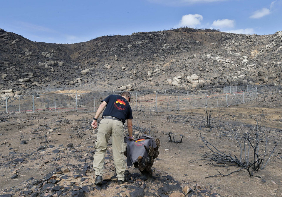 Photo - FILE -In this Tuesday, July 23, 2013 file photo, Prescott Wildland Division Chief Darrell Willis touches A Granite Mountain Hot Shots crew shirt draped over a burned cactus,  in Yarnell, Ariz. Investigators are set to release a report Saturday, Sept. 28, 2013, on the deaths of the 19 elite firefighters who became trapped by flames in a brush-choked canyon north of Phoenix. (AP Photo/Matt York, File)