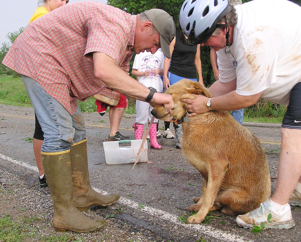 Photo - Veterinarian Patrick Young ties a makeshift muzzle on Baxter, a Labrador, to make sure the dog doesn't bite as he examines the animal in Cole, Oklahoma Tuesday, May 24, 2011 after a tornado went through the area. Photo by David Zizzo, The Oklahoman