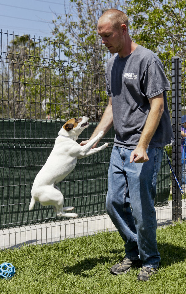 Photo -   Matthew Weins, of spcaLA (Society for the Prevention of Cruelty to Animals Los Angeles), works with Daisy, as he demonstrates how even smaller dogs can leap up and reach the face, at the spcaLA P.D. Pitchford Companion Animal Village and Education Center in Long Beach, Calif., on Wednesday, May 16, 2012. One of the nation's largest home insurers released its 2011 statistics on dog bite claims Wednesday. A State Farm Insurance spokesman says more than $109 million was paid on about 3,800 dog bite claims nationwide. (AP Photo/Damian Dovarganes)