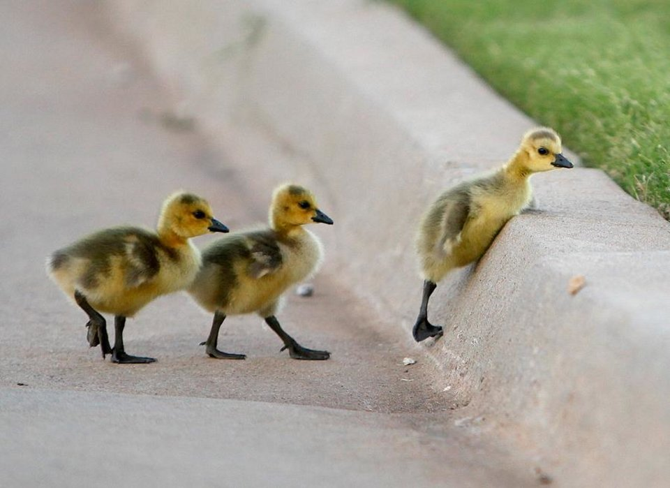 A trio of baby geese try to hop over a curb on the OPUBCO properties in Oklahoma Cit., Thursday, May 17, 2012. Photo by Sarah Phipps, The Oklahoman