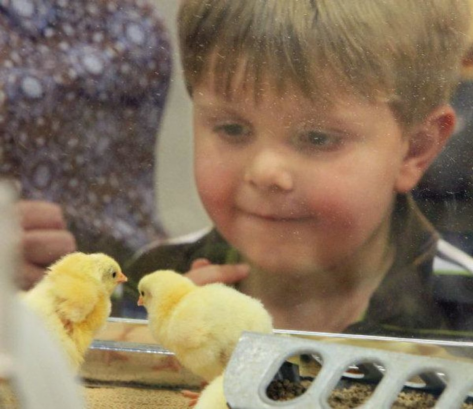 Photo - A child watches chicks in an incubator at AGtropolis on Wednesday at the Oklahoma State Fair.   David McDaniel, THE OKLAHOMAN - David McDaniel, THE OKLAHOMAN