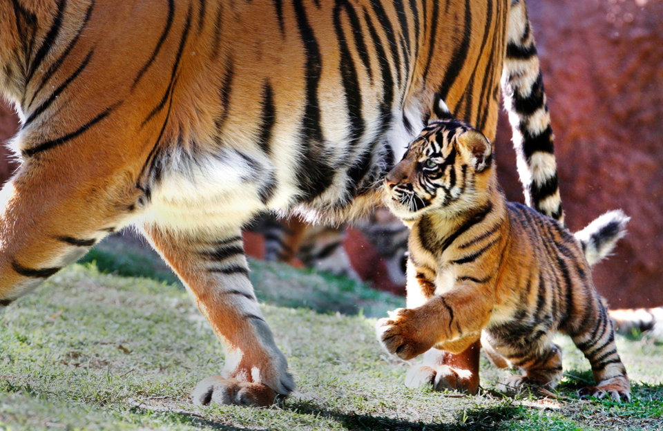 A Sumatran tiger cub chases after its mother in its exhibit at the Oklahoma City Zoo on Tuesday, Oct. 4, 2011 in Oklahoma City, Okla. Photo by Jim Beckel, The Oklahoman
