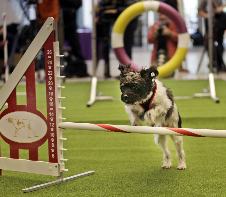 """Photo - FILE - In this Jan. 15, 2014, file photo, Alfie, a poodle mix, approaches a hurdle as he demonstrates his mastery of an agility test during a news conference in New York. For the first time ever, the Westminster Dog Show will include an agility competition, open to mixed breeds as well as purebred dogs. """"I'm representing everybody who just sits on their couch with their dog,"""" said Alfie's owner Irene Palmerini, of Toms River, N.J. """"He's just our pet."""" (AP Photo/Seth Wenig, File)"""