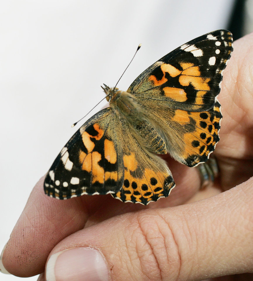 Photo - PAINTED LADY BUTTERFLY: One of the butterflies Wed. April 8, 2009 that will be released from the North lawn of McFarlin United Methodist church in Norman, OK rests on the finger of Beth Carter. Photo by Jaconna Aguirre, The Oklahoman. ORG XMIT: KOD