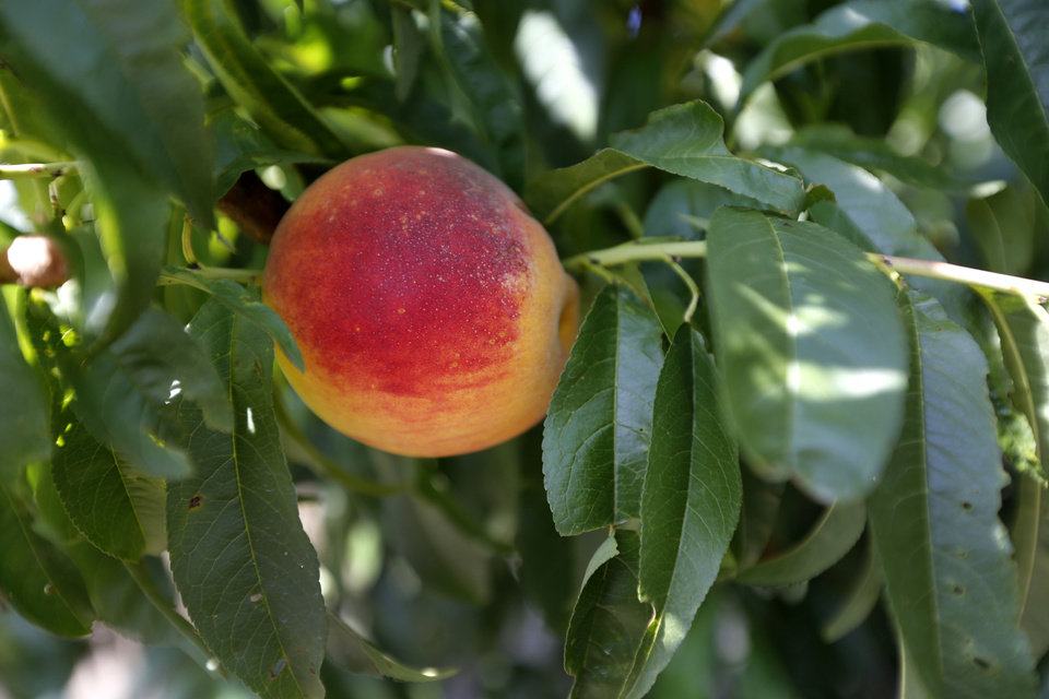 A peach hangs from a tree on Craig Pullen's peach farm in Stratford. Photo By Steve Gooch, The Oklahoman <strong>Steve Gooch - The Oklahoman</strong>