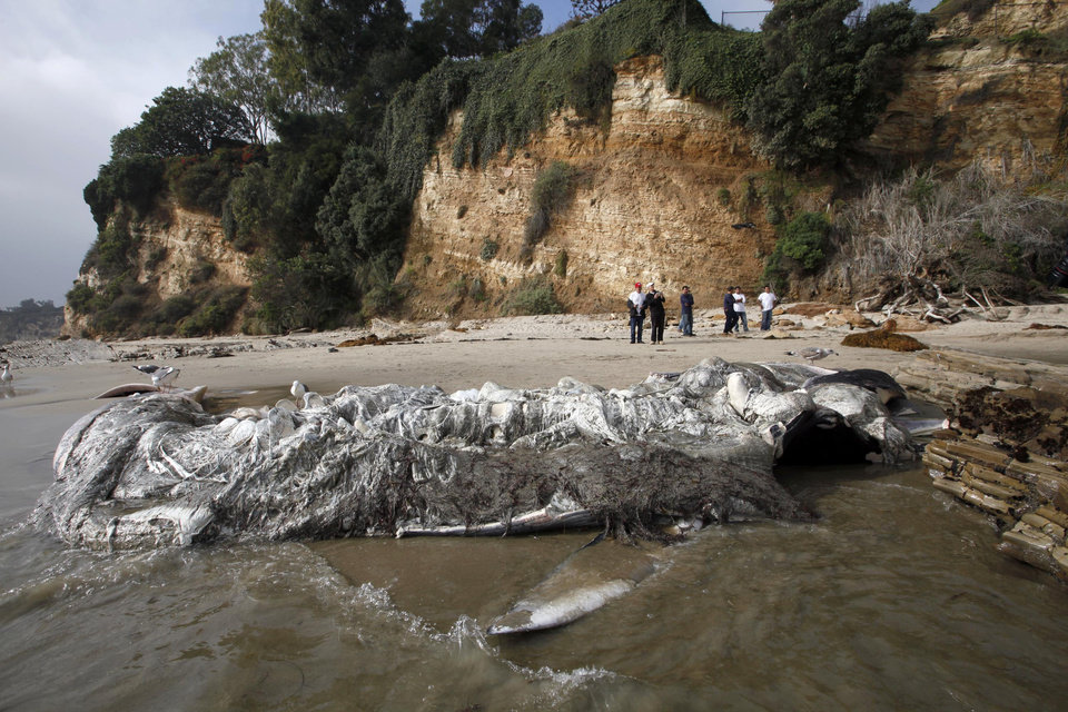 People look at a dead young male fin whale that washed up Monday between the Paradise Cove and Point Dume areas of Malibu, Calif. on Thursday, Dec. 6, 2012. The rotting carcass near celebrity homes is causing a gigantic cleanup problem as authorities try to decide who\'s responsible for getting rid of it. Los Angeles County lifeguards planned to try to pull the 40,000-pound carcass out to sea, perhaps at high tide Thursday, said Cindy Reyes, executive director of the California Wildlife Center. (AP Photo/Nick Ut)