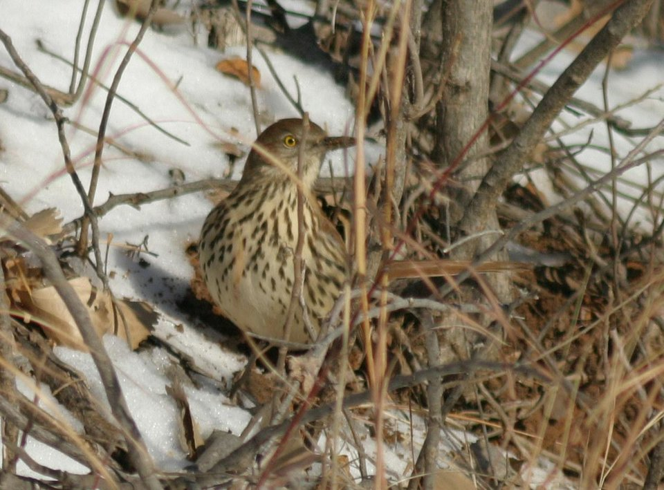 Brown Thrasher at Dolese Park Jan. 15, 06<br/><b>Community Photo By:</b> Tracy Cole<br/><b>Submitted By:</b> tracy, Warr Acres