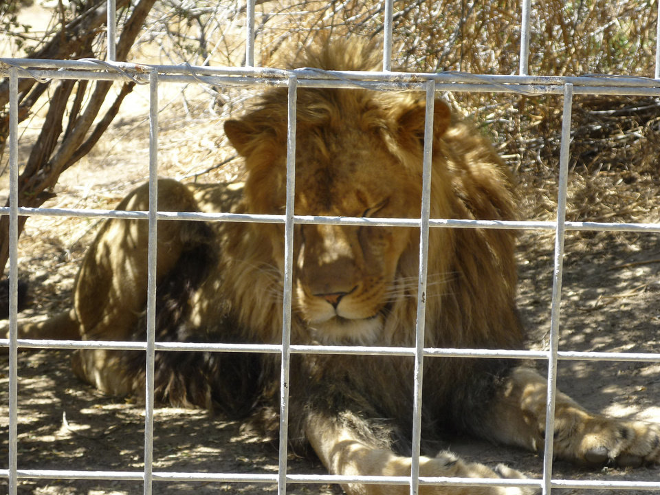 This 2012 photo provided by KFSN-TV shows a 4-year-old male African lion named Couscous at Cat Haven, a private wild animal park in Dunlap, Calif. Authorities say the lion killed a female intern-volunteer on Wednesday, March 6, 2013, at Cat Haven, where the cat had been raised since it was a cub. The intern was attacked and fatally injured after getting into an enclosure with the lion, Fresno County sheriff\'s Sgt. Greg Collins said. (AP Photo/KFSN-TV) OUT KGPE, KSEE, KMPH, KFTV; FRESNO BEE OUT, VISALIA TIMES-DELTA OUT