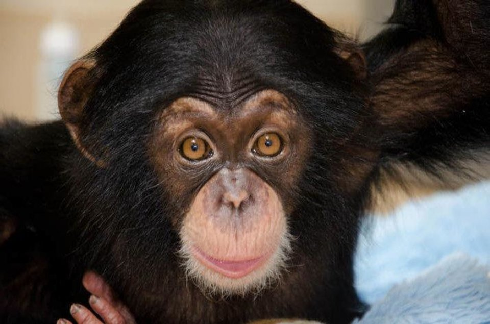 Ruben was two months old when this photo was taken at the Lowry Park Zoo. He has now found a home at the Oklahoma City Zoo after several attempts to integrate him with chimp populations at other zoos failed. <strong>Dave Parkinson - Dave Parkinson</strong>