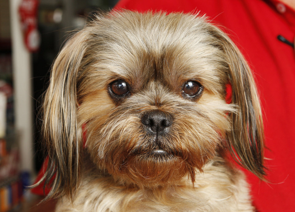 Photo - Sadie, part Shih Tzu and Yorkie, is seen at Paul's Conoco.  Photo by Paul B. Southerland, The Oklahoman  PAUL B. SOUTHERLAND