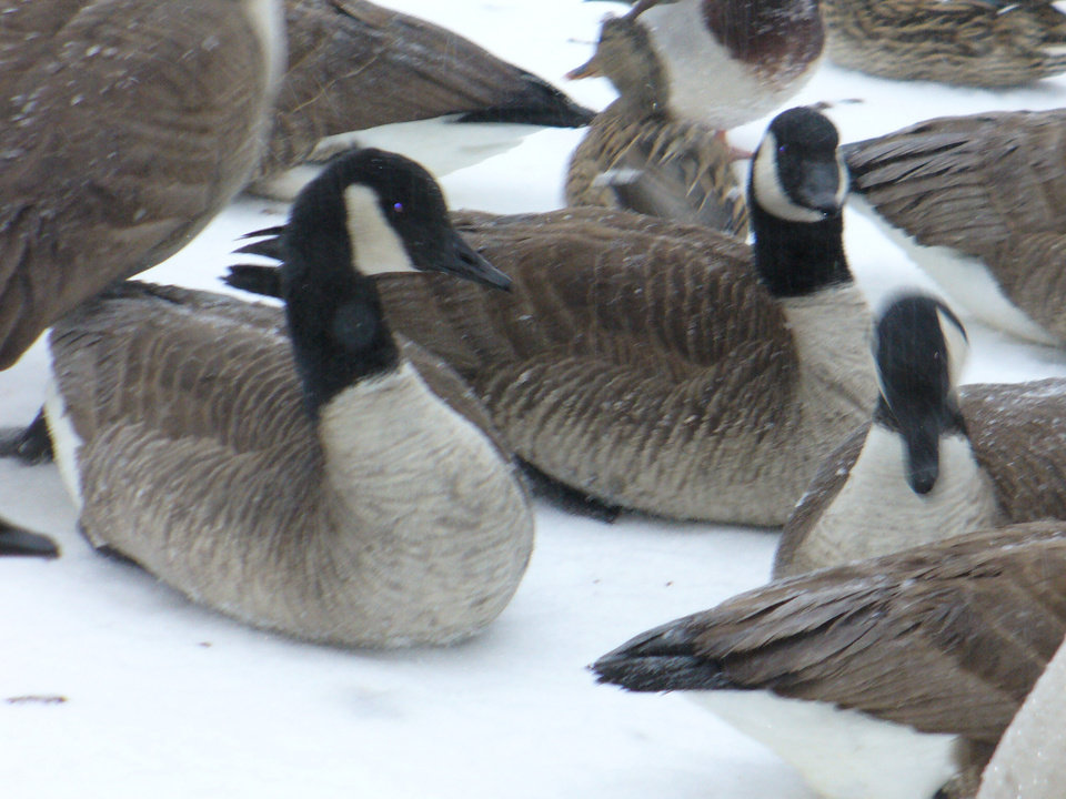 Geese on the lake in Willow Cliff Apts have frozen sleet and rain on their feathers.<br/><b>Community Photo By:</b> Mary Gawlas<br/><b>Submitted By:</b> Mary, Oklahoma City