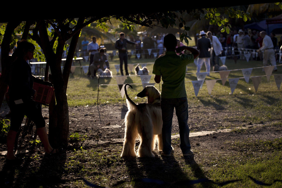 In this Nov. 23, 2012 photo, an Afghan hound named Abel waits with his owner before competing at the Fall Canine Expo in Havana, Cuba. Hundreds of people from all over Cuba and several other countries came for the four-day competition to show off their shih tzus, beagles, schnauzers and cocker spaniels that are the annual Fall Canine Expo�s star attractions. (AP Photo/Ramon Espinosa)