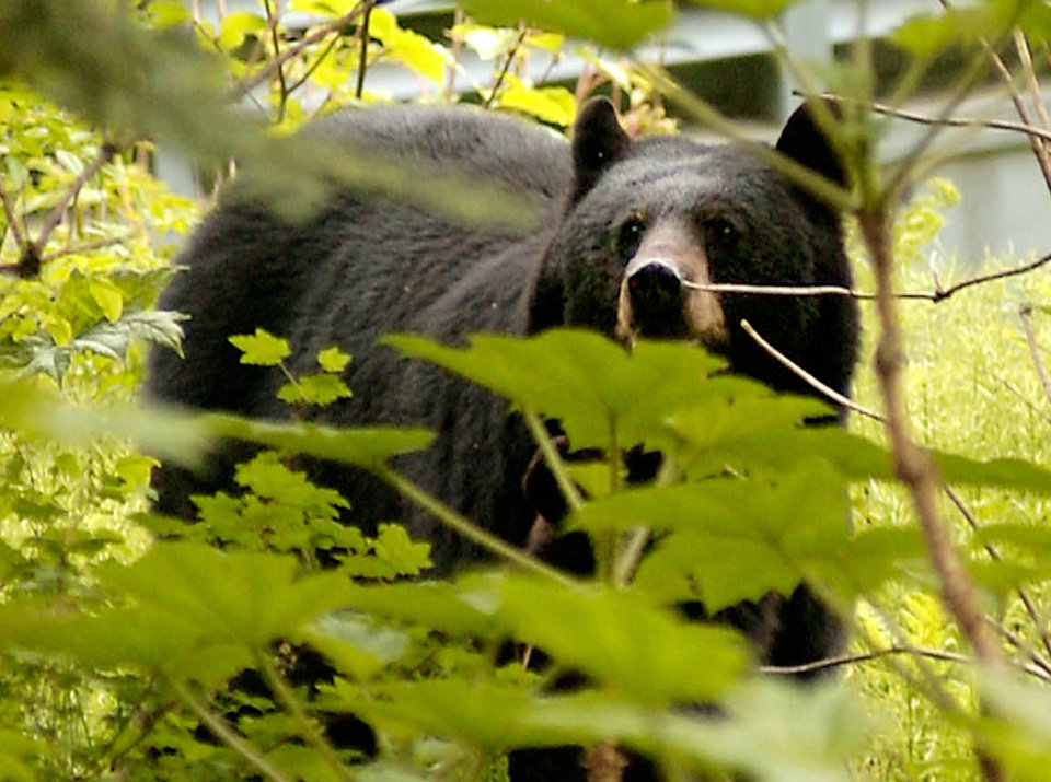 This black bear hunting season, the Oklahoma Department of Wildlife Conservation removed the 20-bear limit, and hunters have taken advantage. Forty bears have been checked in as of Thursday. AP ARCHIVE PHOTO