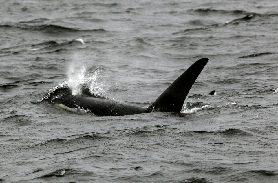 A killer whale swims Chatham Strait in Southeast Alaska, Friday, June 8, 2012.  Photo by Sarah Phipps, The Oklahoman