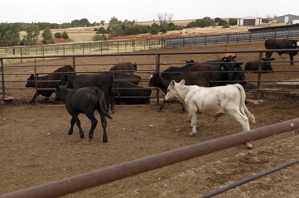 Cattle wait to be fed in containment pens Thursday on the Reuter farm near El Reno. Photos by Sarah Phipps, The Oklahoman