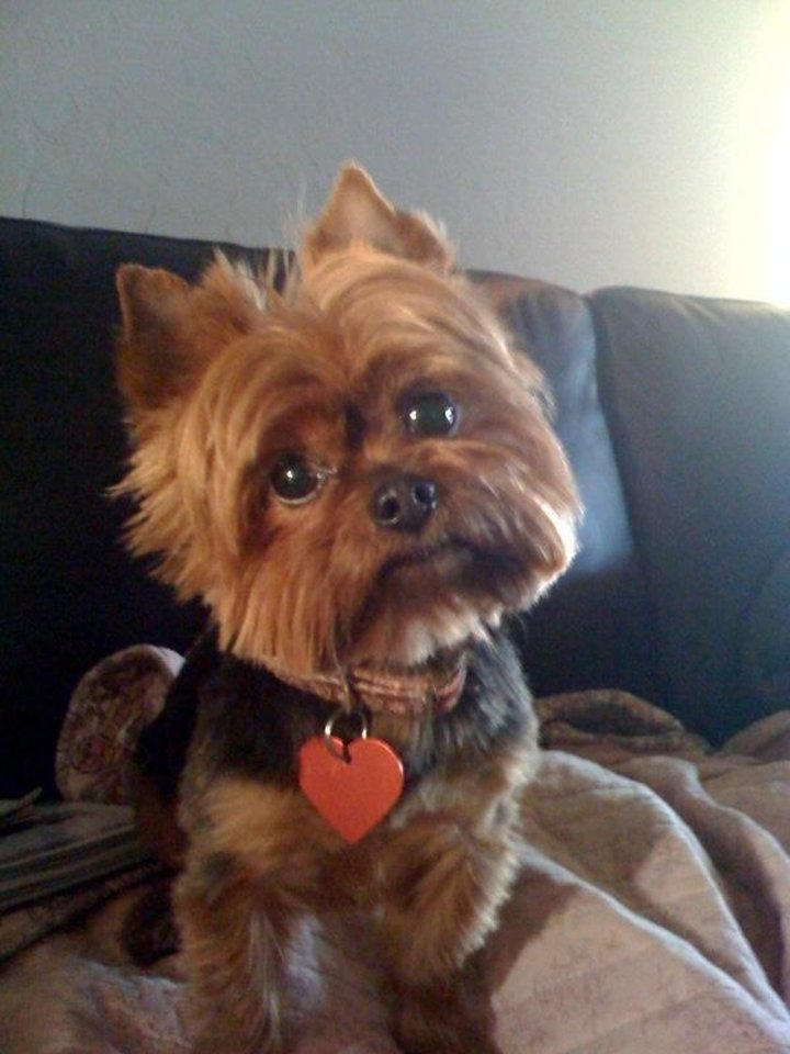 Photo - Bella, our 7-year-old Yorkie
