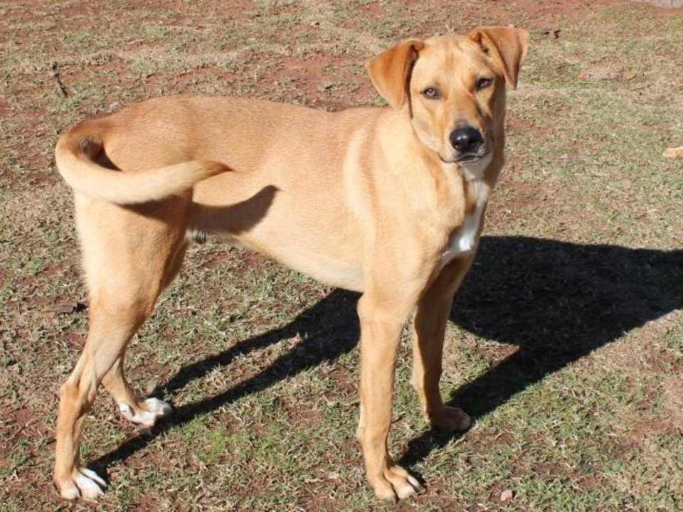 Photo -  Ren is a 5-year-old Labrador mix that has been adopted and returned several times through no fault of his own. He needs a good fence to contain him and not to be left alone in the backyard. He wants to be part of the family. Ren is available for adoption from the Edmond Animal Welfare Shelter, 2424 Old Timbers Drive. His adoption fee is $25. Call 405-216-7615. [PHOTO PROVIDED]