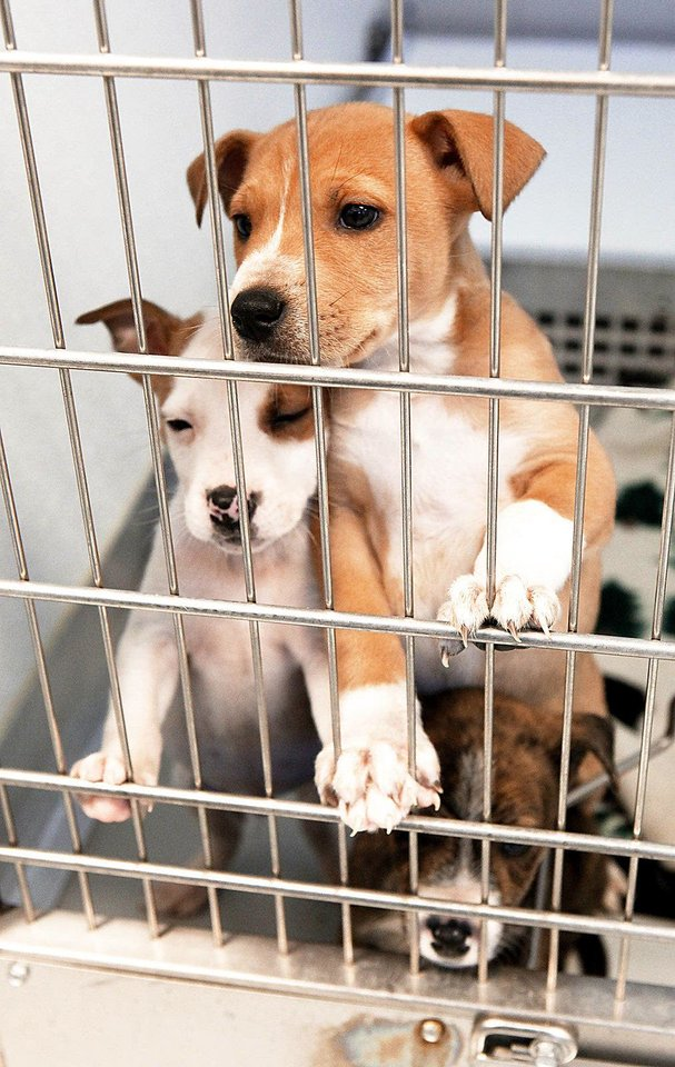 Photo - Puppies under quarantine are seen at the Steven J. Bentley quarantine center in Oklahoma City.  Photos By David McDaniel, The Oklahoman