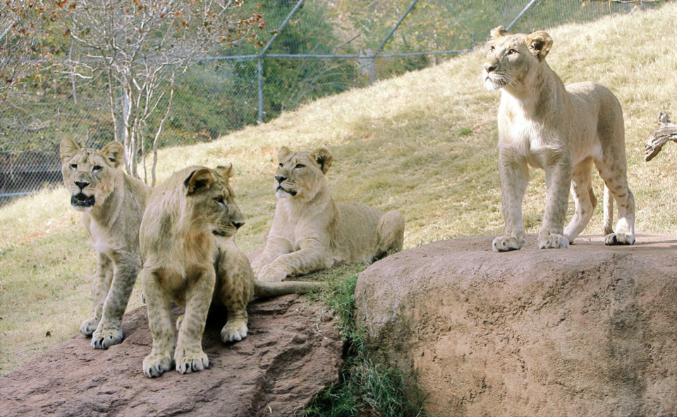 Photo - ONE YEAR BIRTHDAY / ONE-YEAR-OLD: Lion cubs are celebrating their first birthday at the Oklahoma City Zoo in Oklahoma City, OK, Monday, Nov. 3, 2008. From left are: Kalliope, Xerxes, Zari, and Malaika. BY PAUL HELLSTERN, THE OKLAHOMAN ORG XMIT: KOD