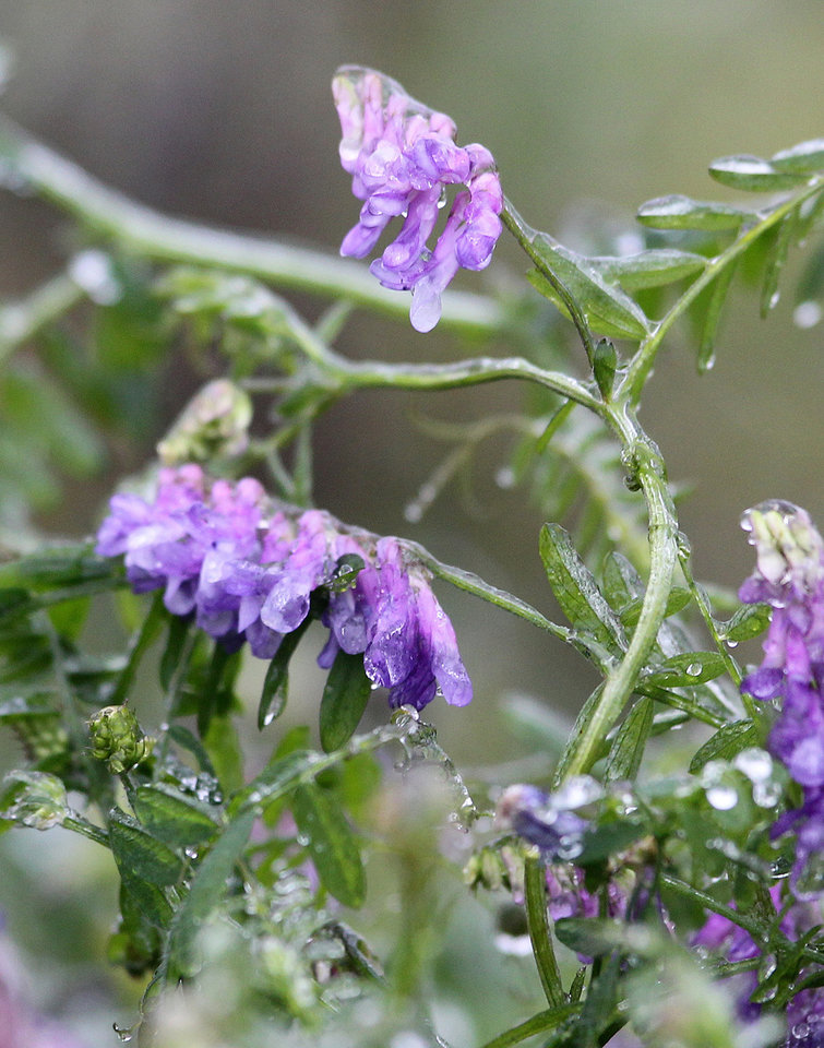 Photo - Ice encases flowers on the side of I-45 Friday, Jan. 24, 2014, in Conroe, Texas. More than a quarter of a million students have an unscheduled day off after a cold front left icy conditions in parts of Texas.  (AP Photo/ The Courier, Jason Fochtman)