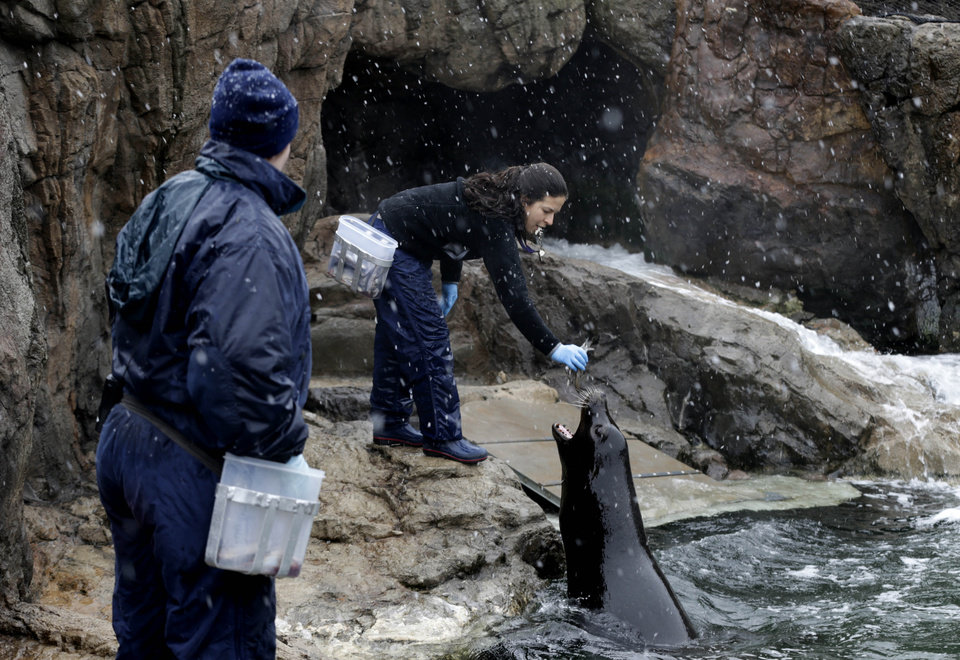 Photo - New York Aquarium employees, including Cristina Mendoca, right, feed and train sea lions as snow falls at the aquarium in New York, Monday, March 25, 2013. A wide-ranging storm is hitting the East Coast after blanketing the Midwest and burying thoughts of springtime weather under a blanket of heavy wet snow and slush, though less snow was predicted to fall as the storm moves eastward. (AP Photo/Seth Wenig)
