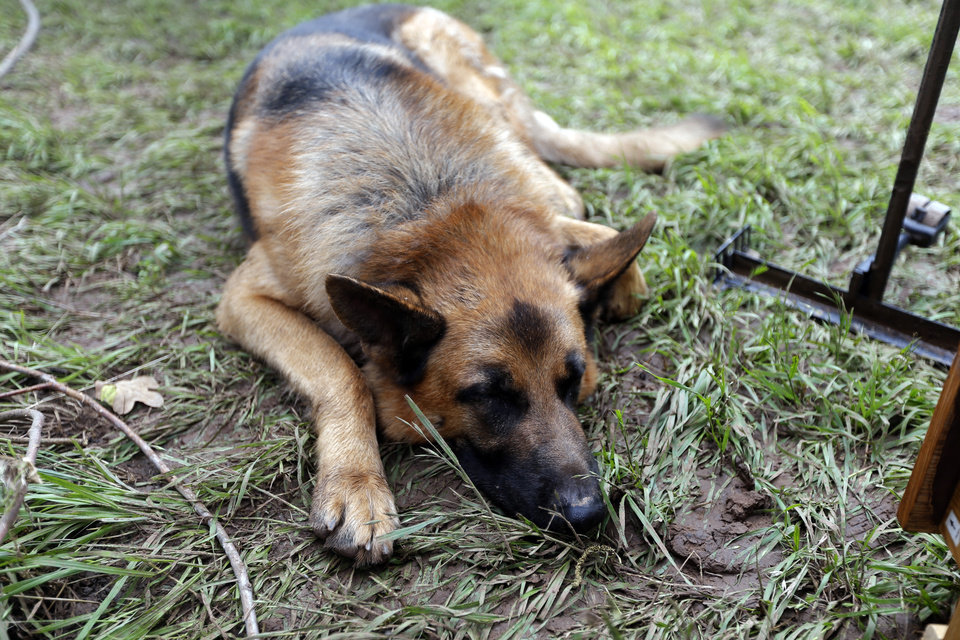 Photo - The Easter dog, Yaffo, lays on grass as his owners clean up their property after the West Cache Creek overflowed flooding the area in Cache, Okla., Sunday, May 24 2015.  Easter and his family were rescued from their roof early Sunday as floods surrounded the home. Photo by Sarah Phipps, The Oklahoman