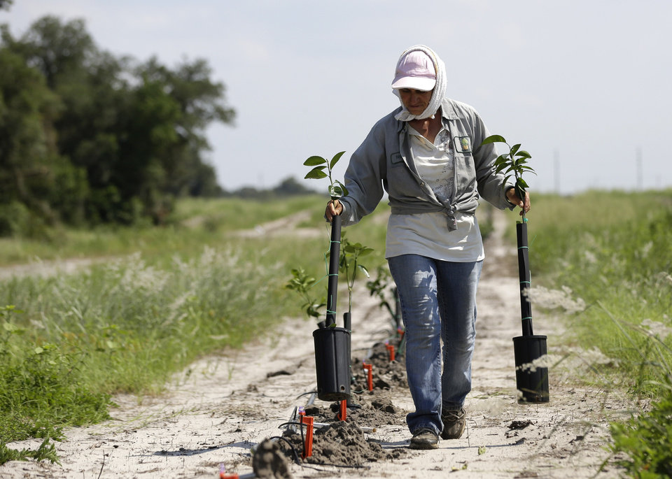 Photo - In this Wednesday, July 30, 2014 photo, a worker plants new citrus trees on land owned by the Hunt family in Lake Wales, Fla. The Hunt  family owns 5,000-plus acres of groves and is part of the co-op that contributes to Florida's Natural, the third largest juice brand in the country. Florida's $9 billion citrus industry is facing its biggest threat yet by a tiny invasive bug called the Asian Citrus Psyllid, which carries bacteria that are left behind when the psyllid feeds on a citrus tree's leaves. (AP Photo/Lynne Sladky)