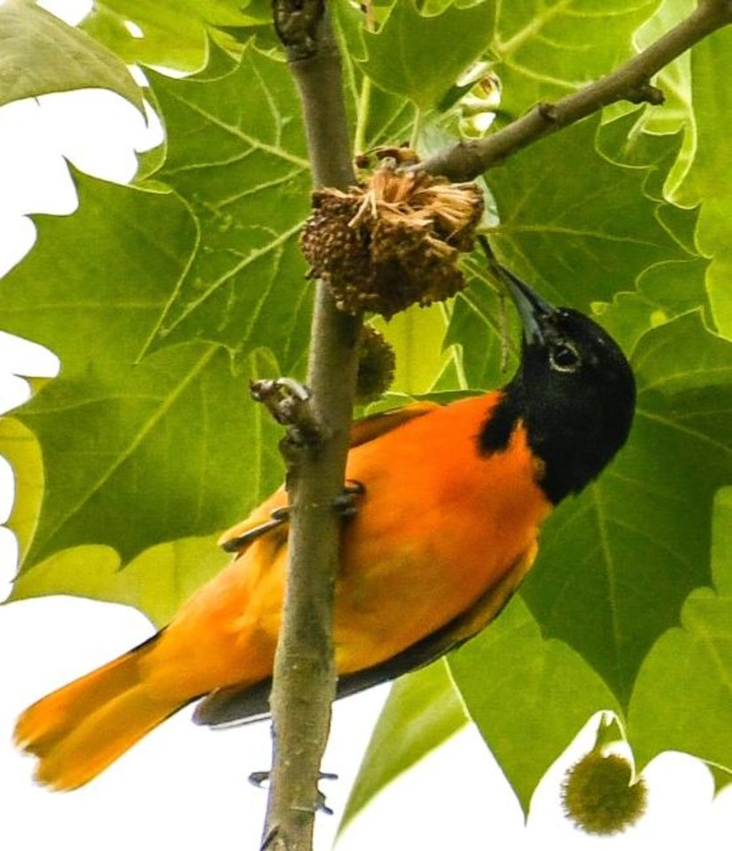 Photo -  A Baltimore oriole has a snack on an American sycamore. [JANE GAMBLE]