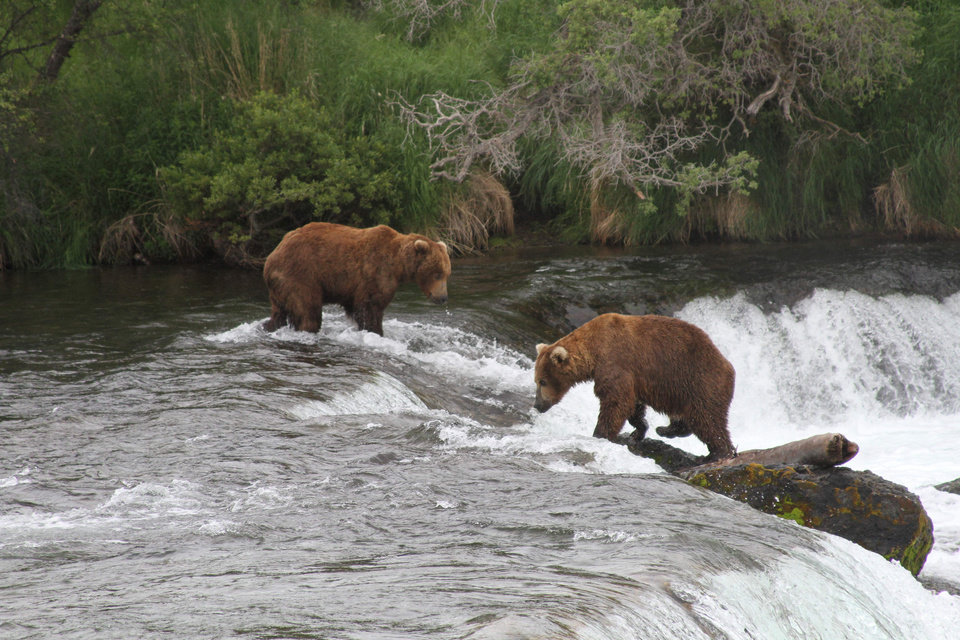 Photo - Two brown bears look for salmon at Brooks Falls at Katmai National Park and Preserve, Alaska on July 4, 2013. (AP Photo/Mark Thiessen)