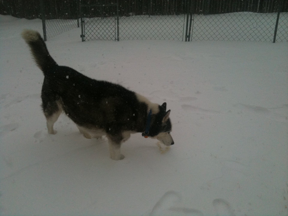 """Dakota"" the Siberian Husky Playing in the Snow"