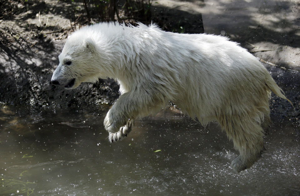 Photo - Luna, a resident polar bear cub, jumps in the water during a news conference at the Buffalo Zoo in Buffalo, N.Y., Wednesday, May 15, 2013. Luna will be the playmate for Kali, an orphaned polar bear cub from Alaska, until a permanent home is located. (AP Photo/David Duprey)
