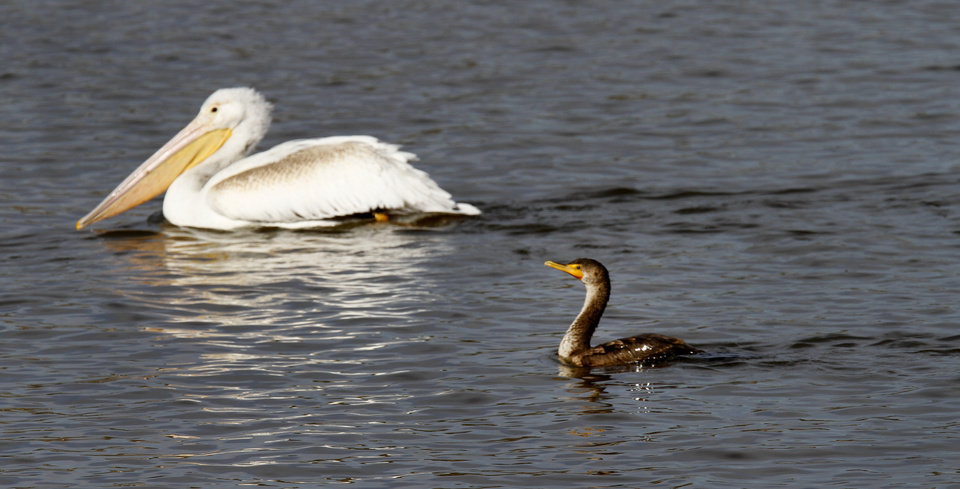 A White Pelican and a Cormorant swim at the Oklahoma City Zoo lake during it\'s migration south in Oklahoma City, Thursday December, 8, 2011. Photo by Steve Gooch, The Oklahoman.