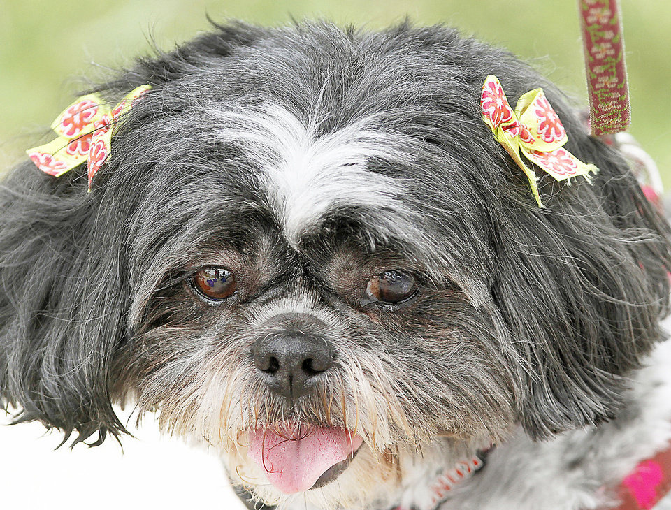 Photo - Lulu, a 5-year old Shih Tzu, wore bows in her hair, having just come from the groomer to attend the pet event in the park. About 200 people attended Pupnic, a neighborhood gathering of dog owners at Ross Park near NW 62 and May Ave on Saturday, April  28, 2012.  The event featured a dog parade and numerous contests for the dogs and their owners.    Photo by Jim Beckel, The Oklahoman