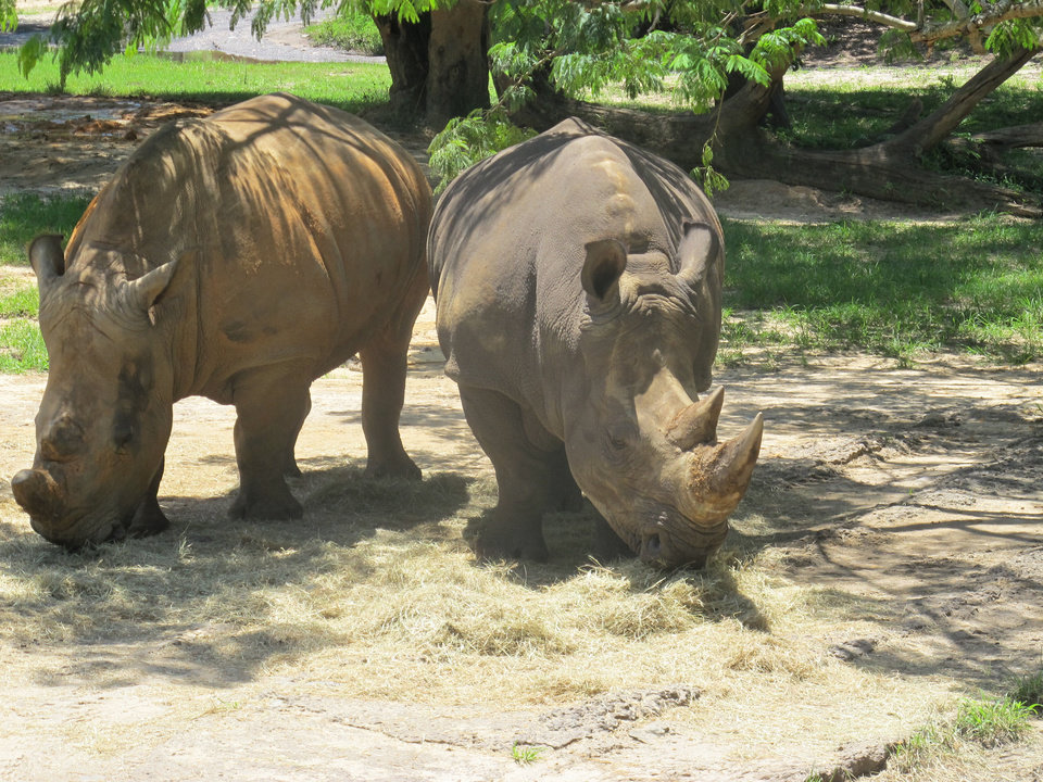 Photo - A pair of rhinoceros graze in Disney World's Animal Kingdom theme park, which has more than 500 acres of land and is represented by more than 250 species.  Richard Hall