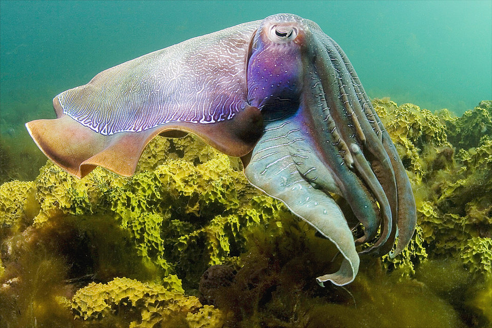 Photo - A giant cuttlefish (Sepia apama) is seen in the water off Whyalla, South Australia, in the film