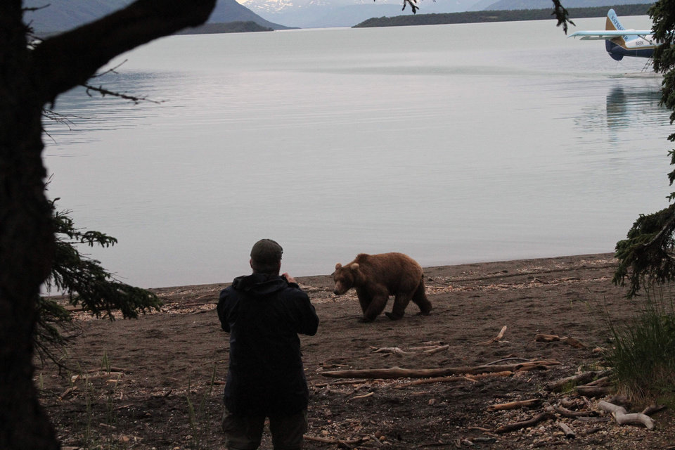 Photo - A tourist takes a photo of a brown bear as it walks on the beach at Katmai National Park and Preserve, Alaska on July 4, 2013. At the height of the salmon season, near the end of July, there will be up to 70 brown bears plus cubs with a one-square mile area of Brooks Camp, along with humans. (AP Photo/Mark Thiessen)