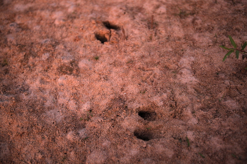 Hog tracks during a hunting trip near Indianola, Okla., Friday, July 6, 2012.  Photo by Garett Fisbeck, The Oklahoman