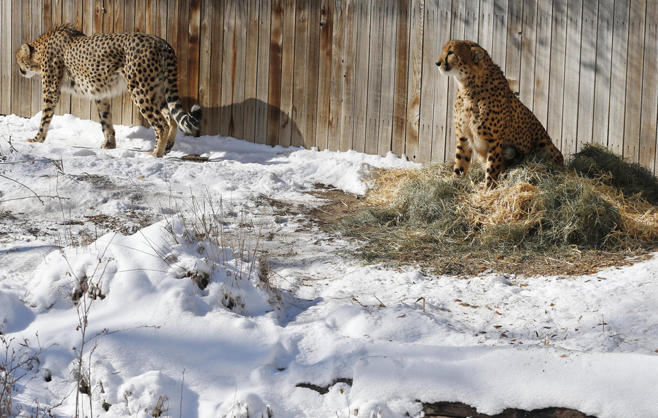Cheetahs Mojo and Marvin, who are brothers, pass time inside their pen, at Denver Zoo, which was closed to the public due to extreme cold, in Denver Thursday Dec. 5, 2013. A wintry storm pushing through the western half of the country has brought bitterly cold temperatures that prompted safety warnings for residents in the Rockies and threatened crops as far south as California. (AP Photo/Brennan Linsley)
