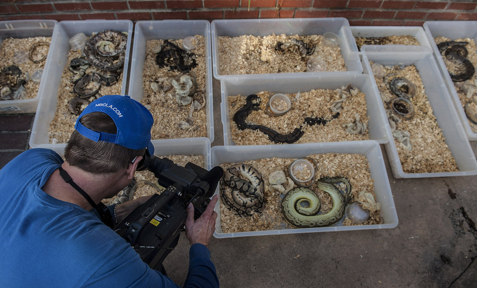 Photo - A television cameraman records snakes brought out of a house in Santa Ana on Tuesday, Jan. 29, 2014. A California schoolteacher was arrested Wednesday after hundreds of living and dead pythons in plastic bins were found stacked ceiling to floor inside his stench-filled home. (AP Photo/The Orange County Register, Bruce Chambers )   MAGS OUT; LOS ANGELES TIMES OUT
