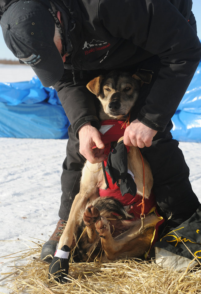 Photo - Iditarod musher Jeff King, from Denali, Alaska, puts booties on his dog's feet on the frozen Fish River as he prepares to leave in first place from the White Mountain checkpoint during the 2014 Iditarod Trail Sled Dog Race on Monday, March 10, 2014. (AP Photo/The Anchorage Daily News, Bob Hallinen)
