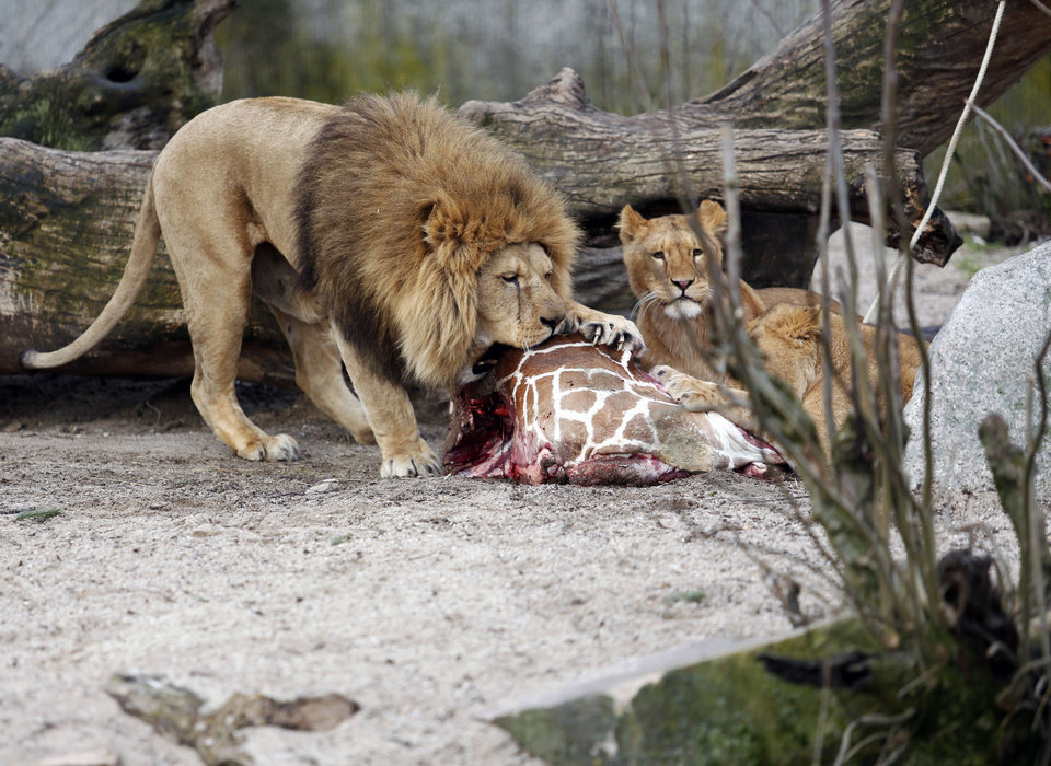 "FILE This is a Sunday, Feb. 9, 2014 file photo of the carcass of Marius, a male giraffe, as it is eaten by lions after he was put down in Copenhagen Zoo . The zoo that faced protests for killing a healthy giraffe to prevent inbreeding says it has put down four lions, including two cubs, to make room for a new male lion.  Citing the ""pride's natural structure and behavior,"" the Copenhagen Zoo said Tuesday March 25, 2014 that two old lions had been euthanized as part of a generational shift. It's not known if the lions photographed are the ones that were put down by the zoo. (AP Photo/POLFOTO, Rasmus Flindt Pedersen, File)  DENMARK OUT"