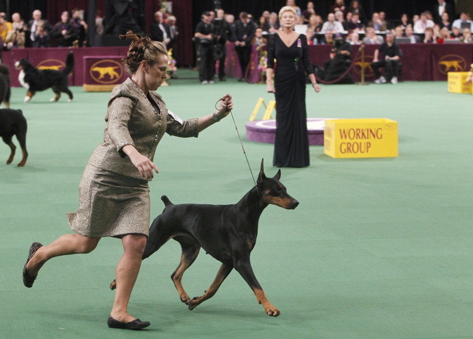 Photo - FILE - In this Feb. 14, 2012 file photo, Veni Vidi Vici, a Doberman pinscher, competes in the working group, which she later won, during the 136th annual Westminster Kennel Club dog show in New York. (AP Photo/Jason DeCrow, File)