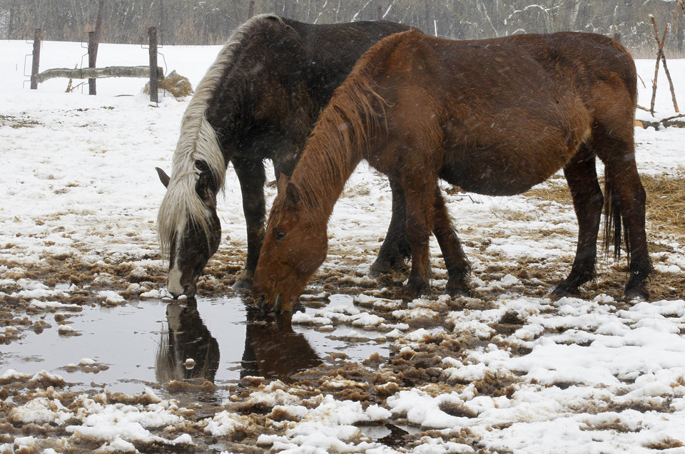 Photo - Horses drink water from a puddle at a farm near Vilnius, Lithuania, Friday, April 5, 2013. Veterinarians are fighting to save the lives of dozens of horses found without adequate food or shelter on a farm near Vilnius, Lithuania's capital. Some 122 horses were kept on farmer Algis Kausakis' property through the long winter without proper food, water and shelter. Kausakis had come under criticism for not keeping the animals in a stable, but he told a Vilnius court last week the horses could take care of themselves and didn't need shelter. Rescue workers said Friday that many of the horses were so hungry they couldn't stand up and that as many as 30 might die. (AP Photo/Mindaugas Kulbis)