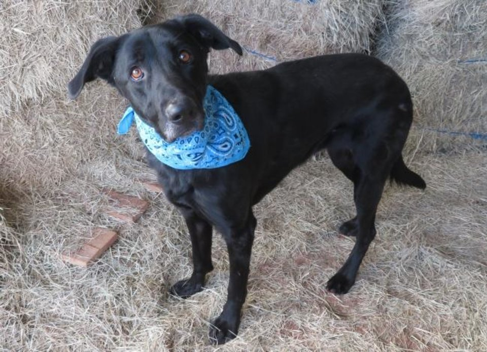 Photo -  Rebel, a friendly 5-year-old, 65-pound Labrador mix, is an excellent fetcher. She'll even bring the ball back to you. Rebel loves playing in water, and she likes other dogs. She is housebroken. Her number at the Oklahoma City Animal Shelter is 327403, and her adoption fee is $30. All pets are spayed or neutered, have a microchip, and have had age-appropriate shots and a health check. The shelter is open from noon to 5:30 p.m. seven days a week at 2811 SE 29. For more information, go to www.okc.petfinder.com and www.okc.gov. [PHOTO PROVIDED]