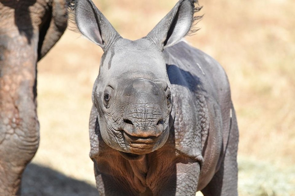 Photo - The Oklahoma City Zoo is inviting the public to vote on names for its baby female Indian rhino, which was born Oct. 23. [Sabrina Heise photo]